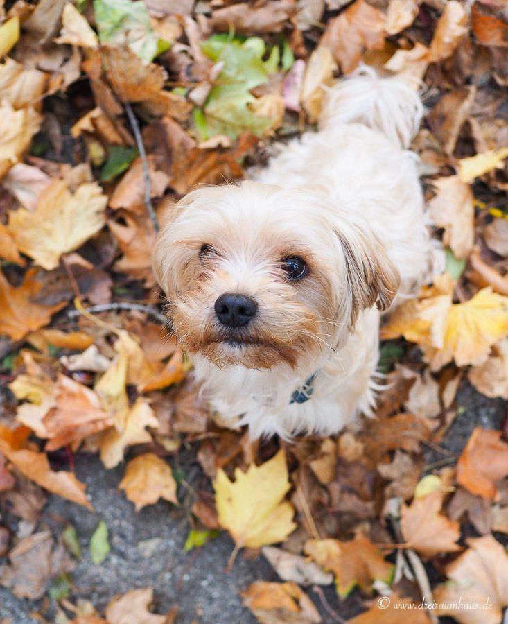 Hundefutter Test mit Wildborn Softjewel! Wie man einen Alltag mit Hund organisiert? Unser Leben mit einem Havaneser...
