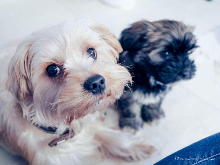 Hallo, ich heiße Hugo und wohne jetzt hier...die Wahrheit über den Alltag mit einem Hundewelpen! Die Furbo Hundekamera!