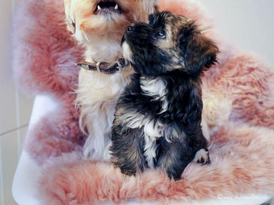 Hallo, ich heiße Hugo und wohne jetzt hier...die Wahrheit über den Alltag mit einem Hundewelpen! Die Hundekamera Furbo!